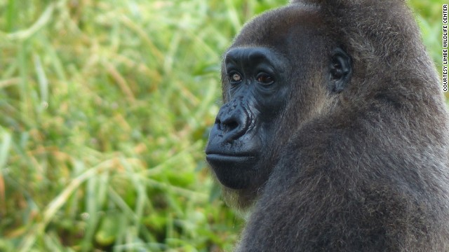 140109172741-nyango---cross-river-gorilla-horizontal-gallery