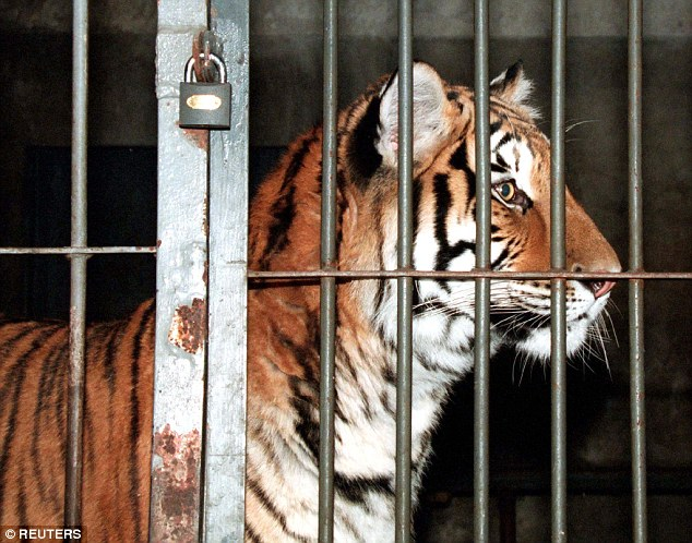 1415004400868_wps_17_A_CAGED_SIBERIAN_TIGER_LO