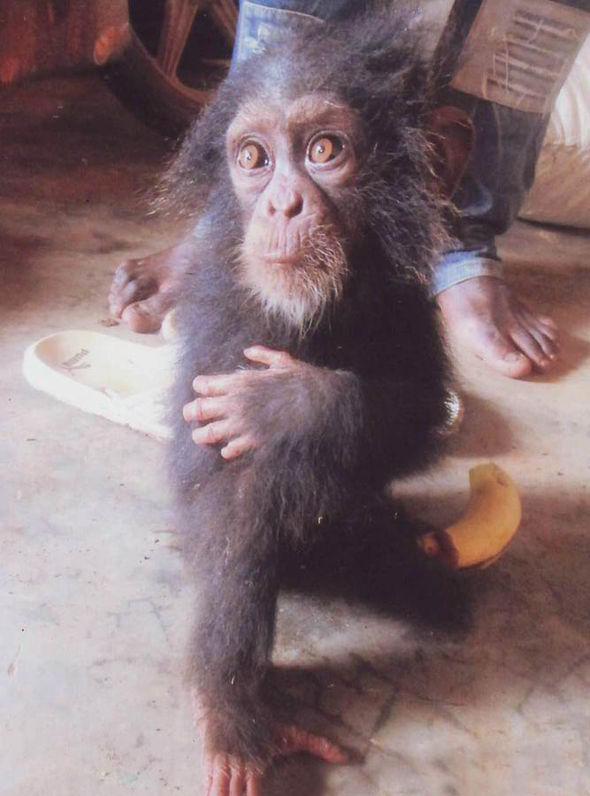 chimpanzee-Africa-217779