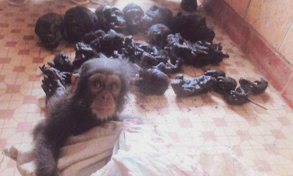 chimpanzees-africa-trafficking-217775